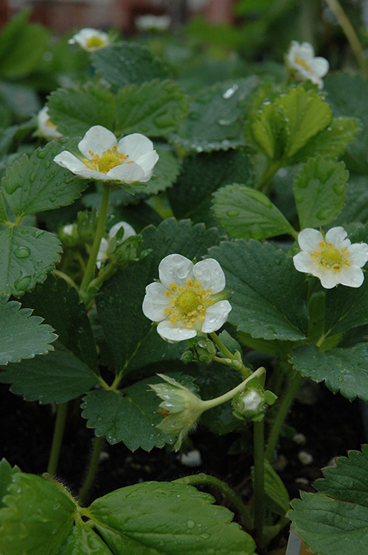 Chandler Strawberry Fragaria At County Line Nursery