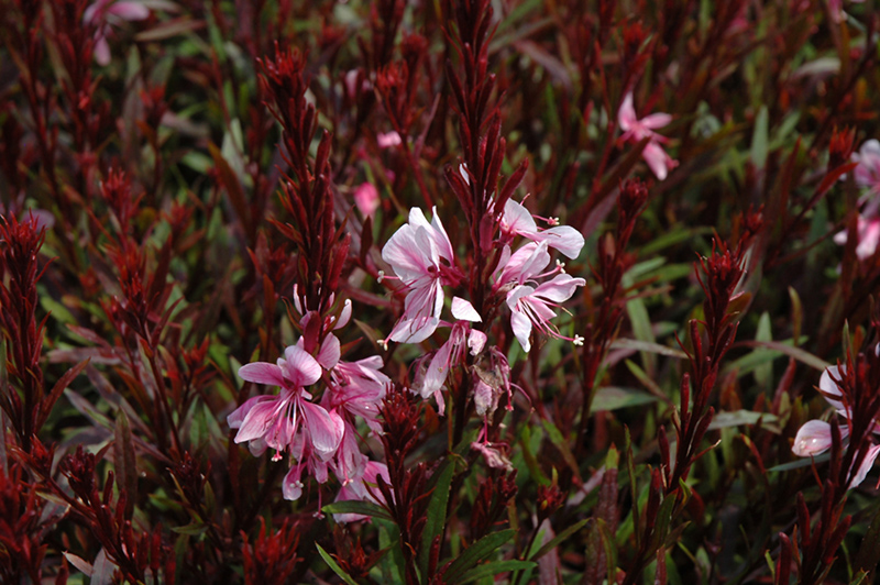 passionate blush gaura gaura lindheimeri passionate blush at county line nursery pasquesi home and garden. beautiful ideas. Home Design Ideas