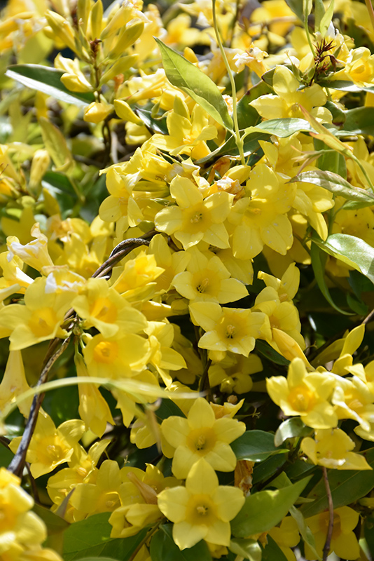 Carolina Yellow Jessamine Gelsemium Sempervirens In Philadelphia
