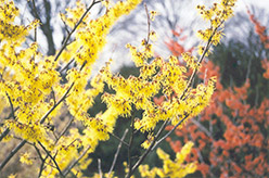 Arnold Promise Witchhazel (Hamamelis x intermedia 'Arnold Promise') at County Line Nursery