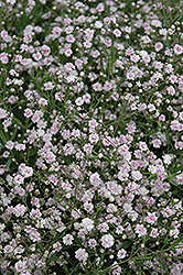 Pink Fairy Baby's Breath (Gypsophila paniculata 'Pink Fairy') at County Line Nursery