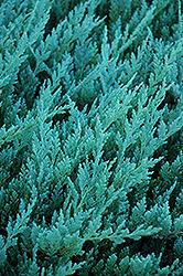 Blue Chip Juniper (Juniperus horizontalis 'Blue Chip') at County Line Nursery