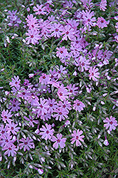 Fort Hill Moss Phlox (Phlox subulata 'Fort Hill') at County Line Nursery