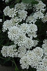 Alexander White Candytuft (Iberis sempervirens 'Alexander White') at County Line Nursery