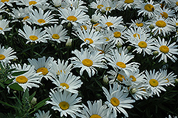Silver Princess Shasta Daisy (Leucanthemum x superbum 'Silver Princess') at County Line Nursery