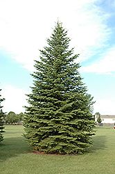 Colorado Spruce (Picea pungens) at County Line Nursery