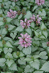 Pink Chablis® Spotted Dead Nettle (Lamium maculatum 'Checkin') at County Line Nursery
