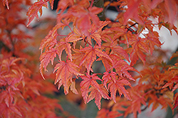 Lions Head Japanese Maple (Acer palmatum 'Shishigashira') at County Line Nursery