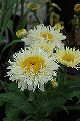 Gold Rush Shasta Daisy (Leucanthemum x superbum 'Gold Rush') at County Line Nursery
