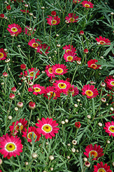 Madeira Cherry Red Marguerite Daisy (Argyranthemum frutescens 'Madeira Cherry Red') at County Line Nursery