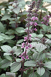 African Blue Basil (Ocimum 'African Blue') at County Line Nursery