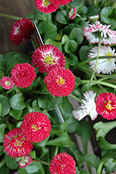 Bellisima Red English Daisy (Bellis perennis 'Bellissima Red') at County Line Nursery