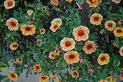 MiniFamous® iGeneration Apricot Red Eye Calibrachoa (Calibrachoa 'MiniFamous iGeneration Apricot Red Eye') at County Line Nursery