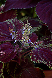 Emotions Sophisticated Coleus (Solenostemon scutellarioides 'Sophisticated') at County Line Nursery