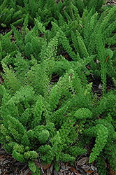 Myers Foxtail Fern (Asparagus densiflorus 'Myers') at County Line Nursery