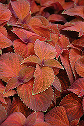 Wizard Sunset Coleus (Solenostemon scutellarioides 'Wizard Sunset') at County Line Nursery