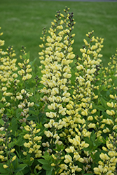 Decadence® Lemon Meringue False Indigo (Baptisia 'Lemon Meringue') at County Line Nursery