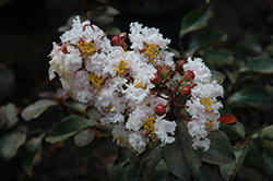 Burgundy Cotton Crapemyrtle (Lagerstroemia 'Whit VI') at County Line Nursery