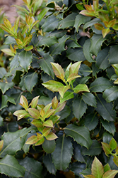 Centennial Girl Holly (Ilex 'Centennial Girl') at County Line Nursery