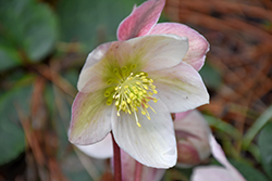 Pink Beauty Hellebore (Helleborus 'Pink Beauty') at County Line Nursery