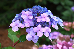 Twist-n-Shout® Hydrangea (Hydrangea macrophylla 'PIIHM-I') at County Line Nursery